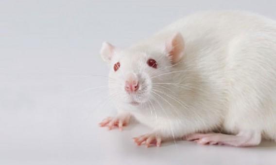 SD rat